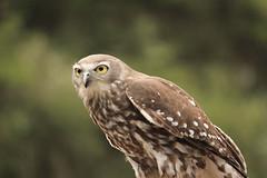 Barking Owl-5.JPG (atrevenna) Tags: owl barkingowl