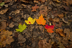 Stand-Outs (Matt Champlin) Tags: life autumn sky tree fall nature leaves forest canon landscape leaf rainbow colorful different hiking fallfoliage foliage fallen colored fallenleaves standout leavesontheground fallinnewyork rainbowleaves fallleavesontheground