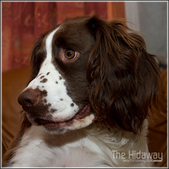 Bella (Simon Bone Photography) Tags: dog flash bitch spaniel springer springerspaniel bella k9 englishspringerspaniel canon420ex liverandwhite stofendiffuser canon1740mmlf4 wwwthehidawaycouk canoneos7d wwwthehidwaycouk