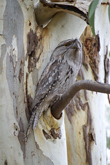 IMG_6868 (lizardstomp) Tags: owls australianbirds tawnyfrogmouths