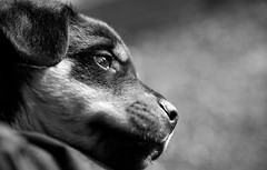 Puppy. (AdamJackson) Tags: bw dog white black cute beautiful puppy nikon bokeh smooth micro 60mm rottweiller d700