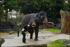 Auckland Zoo - Elephant