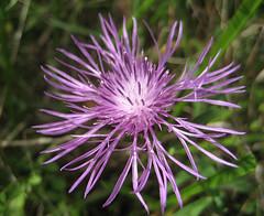 Wildflower in Floyd County, Virginia