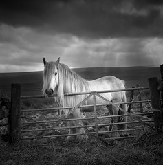 Alston horse. (polarisandy) Tags: winter light blackandwhite bw horse film monochrome clouds rolleiflex vintage mediumformat square landscape aperture flickr illumination 66 400 cumbria squareformat vintagecamera environment medium analogue ilford equine pennines alston planar 75mm environmentalportrait elp 35f rolleiflex35f dodgeandburn crossfell frankeheidecke penrithcumbria synchrocompur givenlight heidosmat existinglightphotography silverfx polarisandy aperture3 blinkagain
