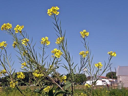 flores de mostaza 2