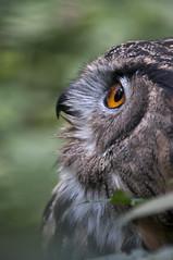 Gufo (Wilson.00) Tags: notturno uccello birdwatch rapace profilo gufo
