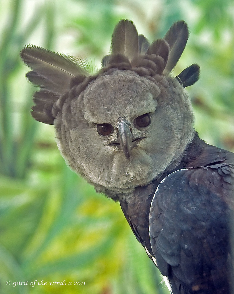 A Stern Look From The Harpy Eagle.