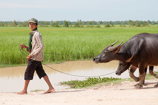 A Man walking with his buffaloes