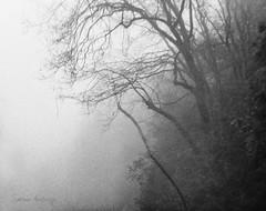 (Ole Lukoie) Tags: california ca trees bw usa snow mountains fog blackwhite sequoia sequoianationalpark туман горы снег чб чернобелый ели сша калифорния секвойя секвойи