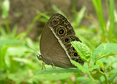 Dark-banded Bushbrown