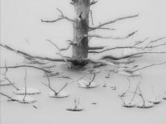 Momma and Babies_PB057245a (yukonchris) Tags: ice lake snow tree winter cold canada yukon whitehorse northof60 north northern olympuse30 zuiko70300mm bw acdseepro5 ortoneffect serifphotoplusx5 wow