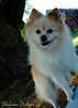 DSC_0748 (zoo2292) Tags: bear dog puppy doggy pomeranian pompom