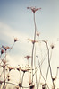 as one (next_in_line) Tags: sky flower grass clouds stand team stem support lift united touch dry together bunch delicate fragile leaning crooked entwine raise thefield
