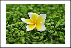 close-up #11 - 11/11/11 (e.nhan) Tags: life light white black flower green art leaves yellow closeup leaf spring dof bokeh frangipani backlighting enhan
