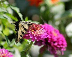 Flower Embrace (kimpossible pics) Tags: california flowers nature butterfly outdoors wildlife butterflies ranunculus swallowtail yucaipa tigerswallowtail oakglen rileysfarm ranunculusflower highqualityanimals