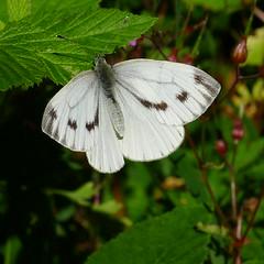 Grosser Kohlweißling Large White (Aah-Yeah) Tags: white butterfly bayern large grosser schmetterling pieris achental chiemgau tagfalter brassicae marquartstein kohlweisling