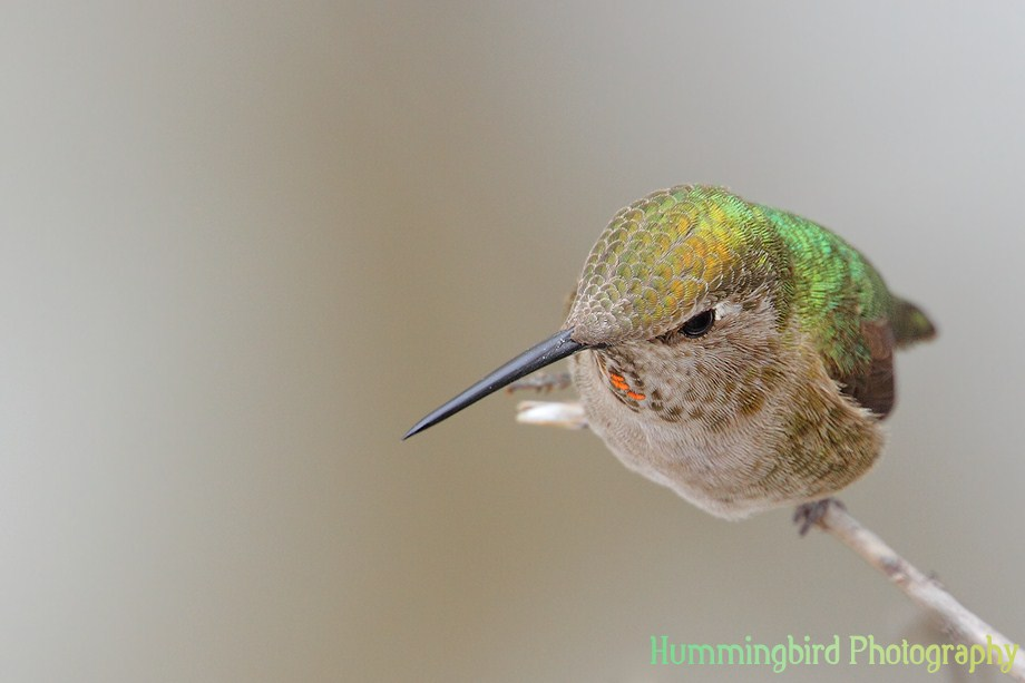 Anna's Hummingbird 111511-4