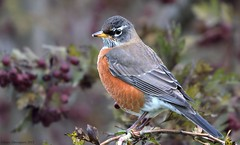 Robin (Garebear400) Tags: wild bird nature robin nwr ridgefield coth supershot willdlife specanimal coth5 mothernaturesgreenearth