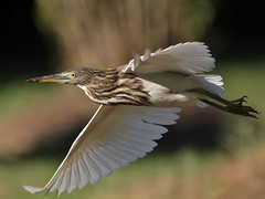 Indian Pond Heron in Flight (SivamDesign) Tags: bird heron fauna canon eos rebel pond kiss indian flight x4 indianpondheron ardeolagrayii 550d canonef300mmf4lisusm t2i