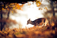 autumn moods (andrew evans.) Tags: morning autumn trees england sun nature forest sunrise golden kent woods nikon bokeh wildlife deer f28 d3 400mm