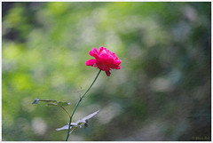 A Lone Rose (Rhivu_Ray) Tags: india color art beauty canon photography colorful asia alone 7d getty expressive lovely biology bengal colorgreen westbengal lonesome bestofnature canoneos7d 55250mm canonefs55250mmf456is canon7d canonefs55250f456is bestofcanon paschimbanga alonerose rhivu s55250mmf45is rhivuray rhitamvarray rhivuphotography