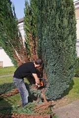 Man chopping down a cypress tree (**Anik Messier**) Tags: uk greatbritain england work timber branches chainsaw harlow cypress essex conifer gardenworker cyprs modelreleaseavailable artistpicks manchoppingdownatree