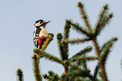 At The Top. (stonefaction) Tags: nature birds scotland woodpecker angus wildlife great spotted loch faved rspb kinnordy