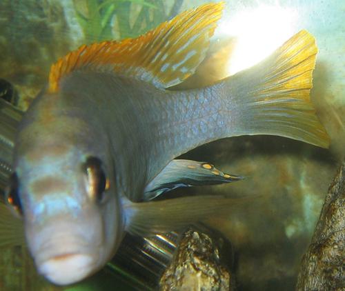 Labidochromis sp. 'perlmutt' Higga Reef