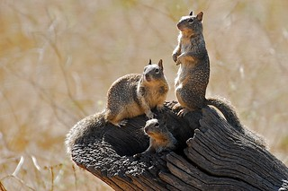 California Ground Squirrels- [EXPLORED]