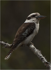 Laughing Kookaburra (Dacelo-novaeguineae) (Brian Aston) Tags: bird nature laughing nikon feathers australia queensland ornithology kookaburra dacelonovaeguineae queenslandaustralia d90 murphyscreek flickraward brianaston whiptail2011