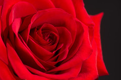 Rose (Benny2006) Tags: shadow red flower color love rose background
