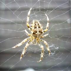 Spider 1 (The original SimonB) Tags: home garden spider suffolk web samsung supermacro felixstowe creepycrawly heebiejeebies 8legs