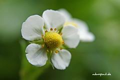erdbeerblte (adampauli) Tags: detail pflanze grn makro blatt blte beere frucht garten erdbeere obst weis augenhhe fruchtkrper