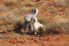 A couple of cute baby goats in Monument Valley, Utah (Hazboy) Tags: summer vacation usa west monument beautiful rock america landscape utah scenery rocks native farm indian flamingo nation goat goats american valley western navajo reservation hazboy hazboy1