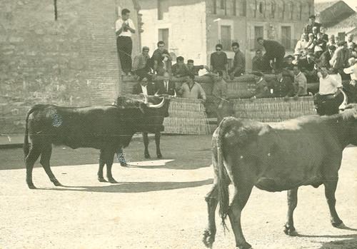 Vacas en la calle en fiestas.