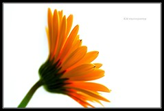 A Proud Assertion... (Kalyan Manda) Tags: flowers light orange flower macro love beautiful beauty contrast canon happy petals dof creative pride romance fresh sharp enjoy highkey colourful lovely onwhite vibrance assertion mywinners colorphotoaward 1000d yourwonderland