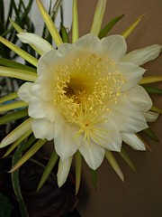 una inaspettata fioritura..... (g.fulvia) Tags: cactus flower dragon fiore queenofthenight moonflower cereus hylocereus