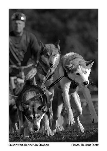 Schlittenhunde Saisoneröffnungsrennen im Tierpark StröhenStröhen TN-Nr 122