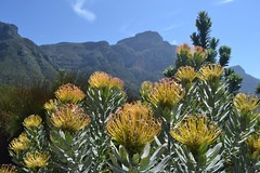 Pincushion Proteas with Devil's Peak in the distance Photo
