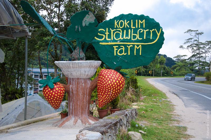Koklim Strawberry Farm