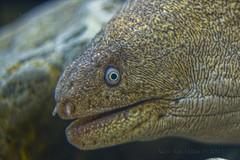 Morena (Asi75er) Tags: muraena helena morena pez animal mar sea nature acuario gijon asturias photoshopelements photoshop europe eos elements 400d 55250