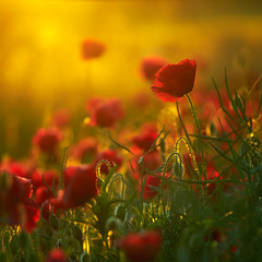 Reminiscence (lichtmaedel) Tags: flowers light sunset macro field germany evening poppy poppies mecklenburg mohn