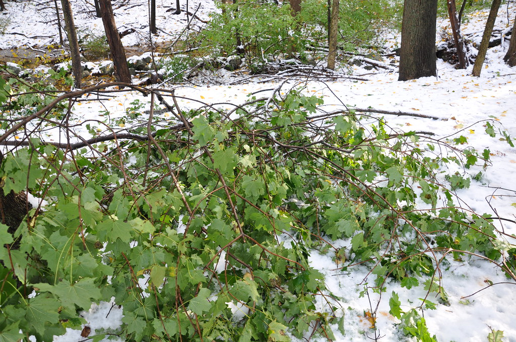 2011-10-30 - Branches Down from Last Night's Snow Storm 013