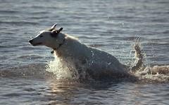 Ecstatic Gyp (Chrissie28IWish! ~ hubby passed away 5th Dec peace) Tags: sea dog pets water drops waves head tail ears running foam splash lurcher gyp yahoo:yourpictures=waterv2 yahoo:yourpictures=motion