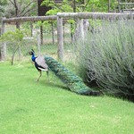 "Peacock at De Bos <a style=""margin-left:10px; font-size:0.8em;"" href=""http://www.flickr.com/photos/14315427@N00/6298626782/"" target=""_blank"">@flickr</a>"