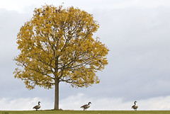 Tree Geese (aerial2) Tags: autumn trees 3 nature birds three geese canadageese