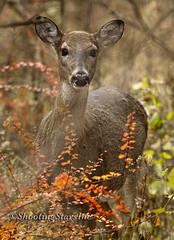 White tail doe (Joe P. Dick) Tags: autumn forest mammal doe deer whitetail naturearttnc12