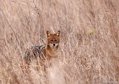 European Golden jackal (mk_lynx) Tags: wild white eye nature grass animal fauna gold golden bush europe european open jackal wildlife large meadow delta v romania vegetation among contact collar grassland habitat eastern danube alert romanian carnivore cani aureus sakal canid schakal bwild akal naravi goldscahakal agalj