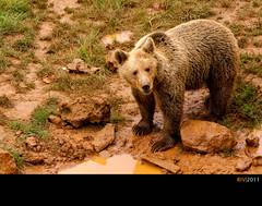 El abrazo del idem (Ricardo I.V.) Tags: españa naturaleza color luz animal fauna oso flickr pardo cantabrico marrón 1785isusm canoneos1000d