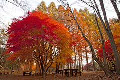 Autumn colors, Nami Island, Korea (Thierry Hoppe) Tags: trees red leaves yellow maple republic colours korea autumncolors namiisland namisom naminara